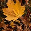 Maple Leaf 8432
