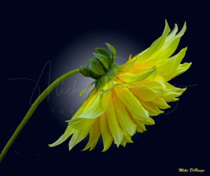 Yellow Dahlia 6642 w60