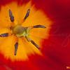 Tulip Pistil  0743 w30