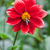 Dahlia and Bee   7386 w32