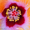 Hibiscus 4196 w67