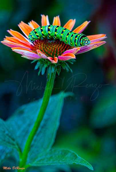 Black  Swallowtail  Caterpillar  and  Coneflower  4923 w42