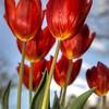 Tulips 0814 w48