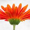 Gerber Daisy 4631 w42