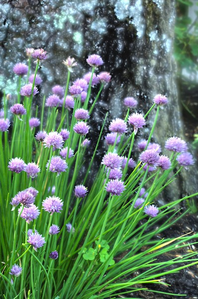 Purple Heads  1023  w30