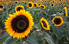 Sunflowers 4664 w68