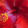 Hibiscus Macro  2813