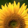 Sunny Sunflower 4734 w24