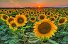 Sunflowers at Sunset 6214 w68