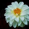 White Dahlia  1006  w30
