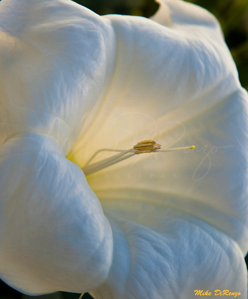 Moonflower Macro  6699  w28