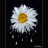 Shasta Daisy Dripper 6726