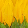 Sunflower Petals 1397  w30