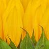 Sunflower Petals  1397  w30