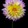 Violet Dahlia 6546 w60