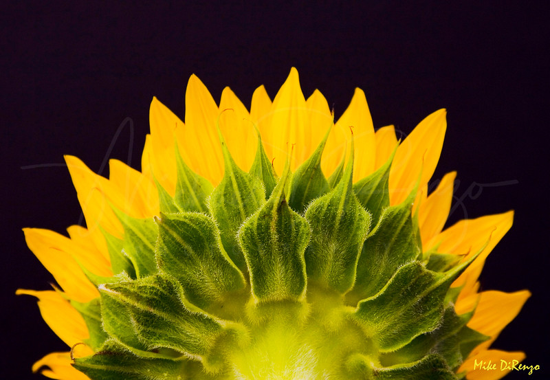 Sunrise Sunflower  7515  w20