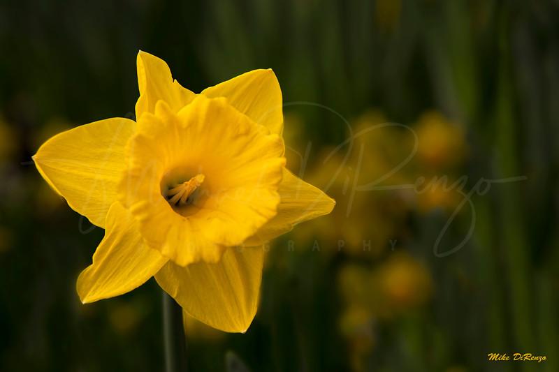 Daffodil 8452 w49
