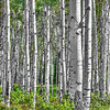 Aspens - Colorado  1988  w22