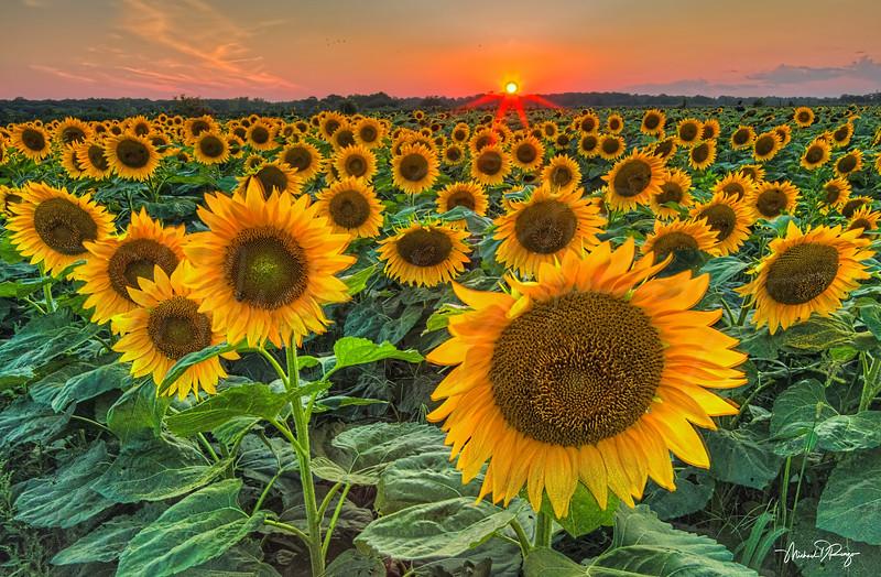 Sunflower Sunset 6214 w68