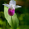 Lady Slipper     4102   w4