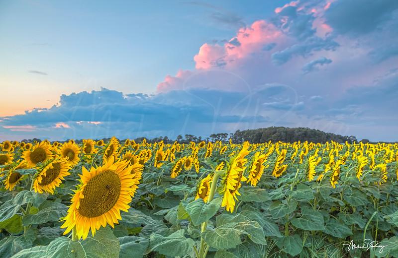 Sunflower Sundown 6278 w68