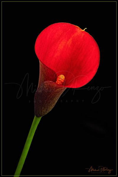 Cala Red 4221 w67