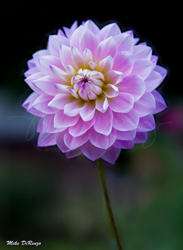 Lavendar Beauty 7434 w32