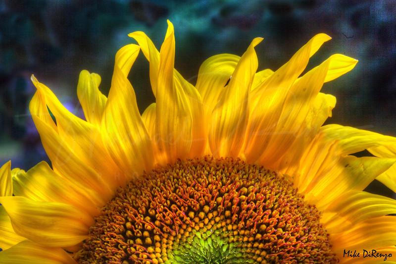 Sunrise Sunflower 2580    w21