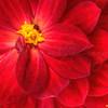 Crimson Dahlia  1048  w30