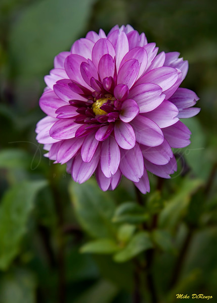 Purple Haze 7941 w32