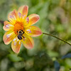 Bee and Dahlia 8034 w32