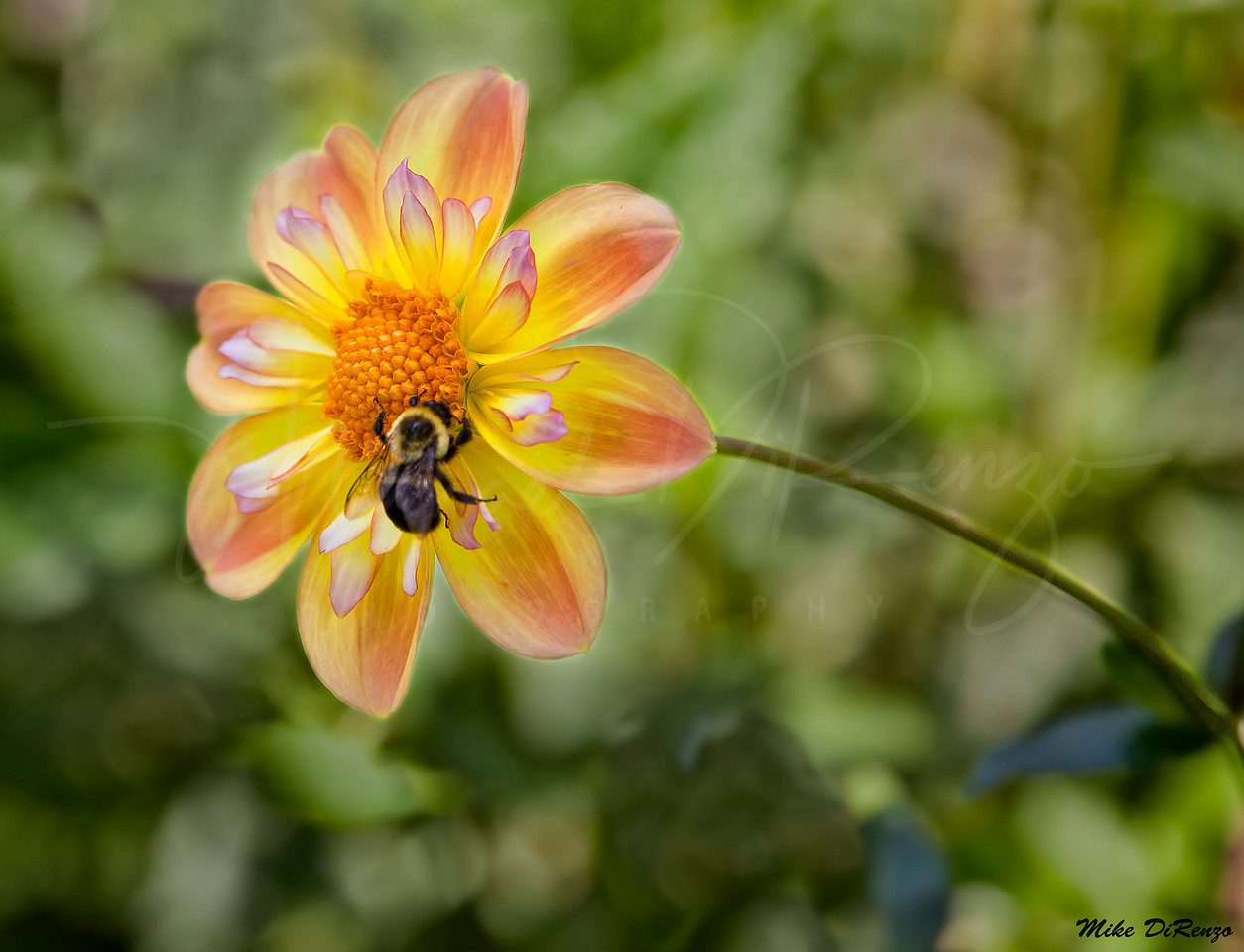 Bee and Dahlia 8034 w32