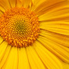 Orange Daisy 9428
