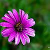 Lavender Daisy 3480  w20