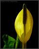 """PRETTY IN YELLOW"",Skunk Cabbage,Wrangell,Alaska,USA."