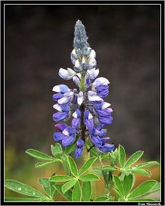 """NOOTKA LUPINE"", wildflower, Wrangell, Alaska, USA.-----""LUPINUS NOOTKATENSIS"", divoka kvetina, Wrangell, Aljaska, USA."