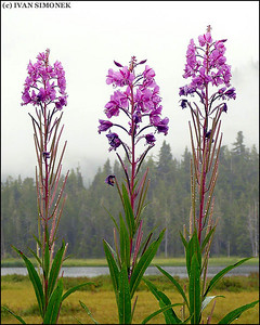 """TALL"",Fireweed,Pats Lake,Wrangell,Alaska,USA."