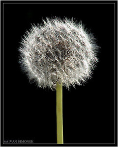 """WAITING FOR WIND"",a Dandelion,Wrangell,Alaska,USA."