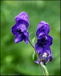 """MONKSHOOD"", very poisonous, Alaska,USA."