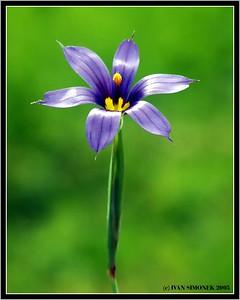 """BLUE-EYED-GRASS"", Wrangell, Alaska, USA-----""MODROOKA TRAVA""."