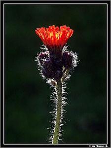 """ORANGE HAWKWEED #1"", a common wildflower,Wrangell, Alaska, USA.-----""HIERACIUM AURANTIACUM"", bezna divoka kvetina, Wrangell, Aljaska, USA."