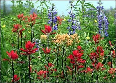 """WILDFLOWERS GOING WILD"", mostly indian paintbrushes and lupins.Wrangell, Alaska,USA.-----""DIVOKE KVETINY "", vetsinou indianske stetce a lupiny. Wrangell, Aljaska,USA."