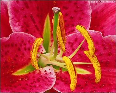 """""""BUG`S VIEW"""",Stargazer lily,Wrangell,Alaska,USA."""