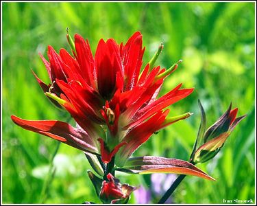 """INDIAN PAINTBRUSH, Sergief island, Alaska, USA,June3,04.-----""INDIANSKY STETEC"", ostrov Sergief, Aljaska, USA,3.cervna 04."
