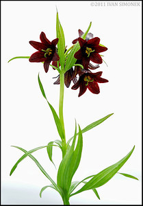 """CHOCOLATE LILY 2"", Alaska,USA."