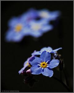 """FORGET-ME-NOT 1"",Alaska state flower,Wrangell,Alaska,USA."