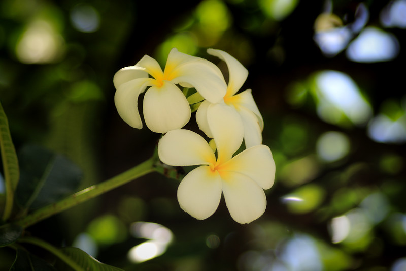 FLOWERS OF HAWAII