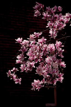 Flowering Magnolia - May 2013