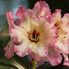 RHODODENDRON NACELLE'S SISTER