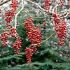 WINTER BERRIES OF IDESIA POLYCARPA<br /> GARDEN OF LEE NEFF